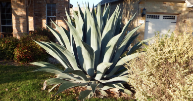 My giant agave plant