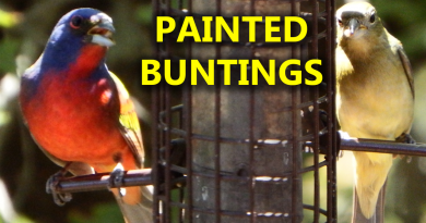 A photo of painted bunting birds